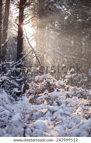Russian cold winter forest landscape snow - stock photo