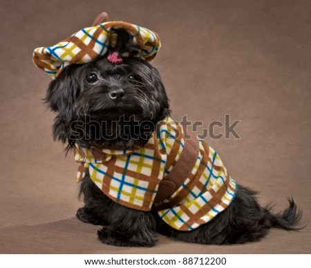 Russian color lap dog in studio in the dress - stock photo