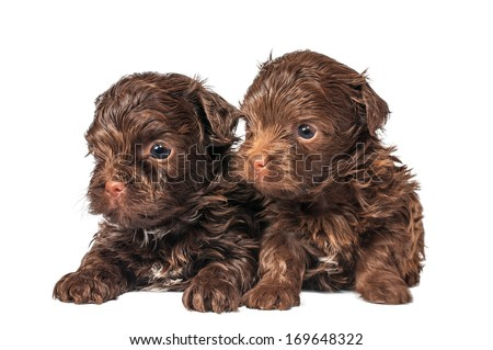 Russian color lap dog puppies - stock photo