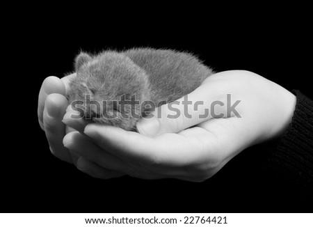 russian grey kitten sleeping on the hands - stock photo
