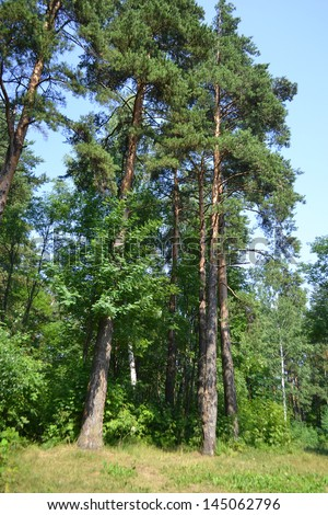 Russian nature - pine forest in summer, the Karelian Isthmus