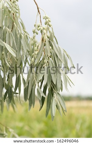 Russian Olive Tree Branch with Fruit - stock photo