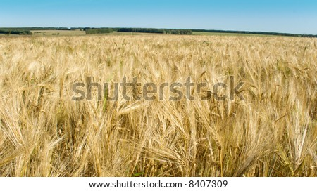 Russian rye field on a background of the blue sky