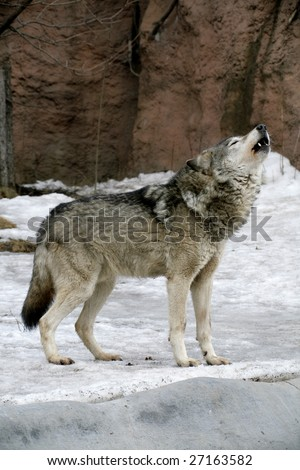 Russian Siberian Wolf - stock photo