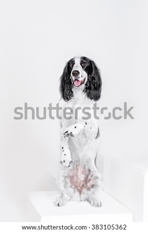 Russian Spaniel dog in white studio  shoy indoore - stock photo
