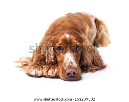 Russian spaniel lying and waiting. Isolated on a white background. - stock photo