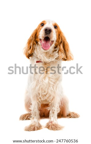 Russian Spaniel portrait full length isolated on white background - stock photo