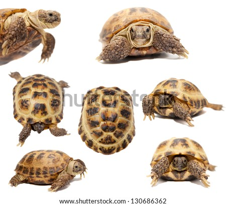 Russian Tortoise or Central Asian tortoise (Agrionemys horsfieldii) isolated on white background. - stock photo