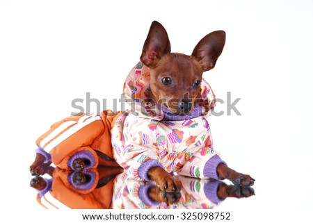 Russian toy-terrier in clothing