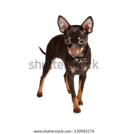 Russian Toy Terrier in Studio