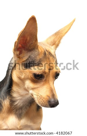 russian toy terrier isolated on white looking aside - stock photo