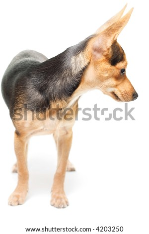 russian toy terrier isolated on white with small shadow - stock photo