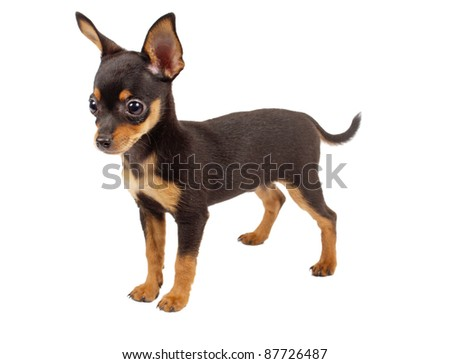 Russian toy terrier on a white background - stock photo