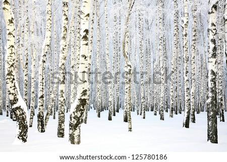 Russian winter - Birch Grove - stock photo