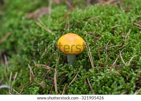 Russulaceae mushroom grows on a fall forest floor background. - stock photo