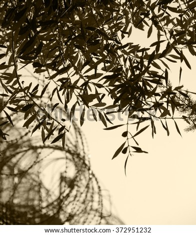 Rusty barbed wire and olive tree. War and imprisonment against peace concept. Selective focus on the leaves. Aged photo. Sepia. - stock photo
