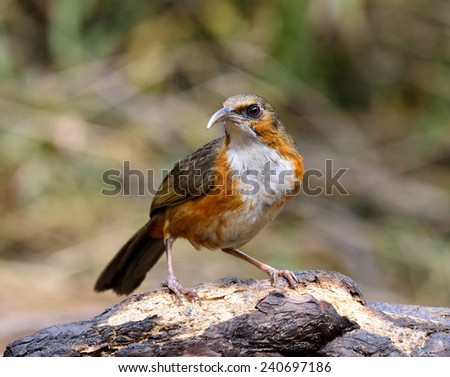 Rusty-cheeked Scimitar Babbler, the beautiful brown and white chest bird with long curved lips standing on the log