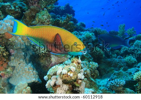 Rusty Parrotfish (Scarus ferrugineus)
