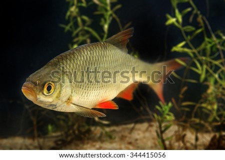 Rutilus rutilus - Roach - stock photo