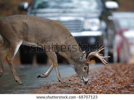 Rutting Whitetail Buck Deer on busy road / highway, Cades Cove, Great Smoky Mountains National Park, Tennessee / North Carolina.  white tail / white-tailed / white-tail / white tailed / whitetailed - stock photo