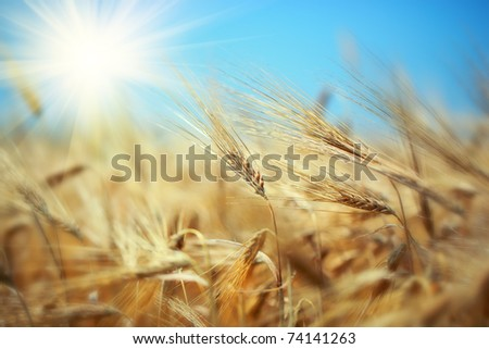 Rye - stock photo