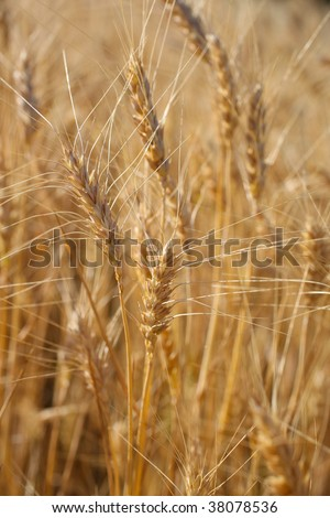 Rye before harvest close up photography.