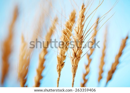 rye ears on blue background - stock photo