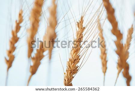 rye ears on blue background - stock photo