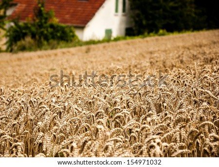 Rye field and farm house. Selective focus.