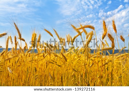 Rye field. Rye ears. Summer landscape. - stock photo