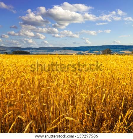 Rye field. Rye ears. Summer landscape. - stock photo