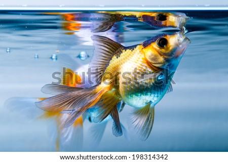 Ryukin goldfish in home aquarium - stock photo
