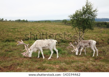 S�¡mi reindeer and Lappish reindeer animals bred for their meat and skins derive economy where norway and finland north of the Arctic Circle north pole - stock photo