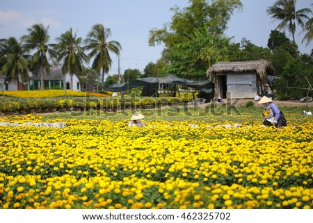 Sa Dec flower planting village, Dong Thap province, Vietnam - January 30, 2016: Local Farmer take care of Marigold flower pots for sell in the days before Vietnamese Tet holiday
