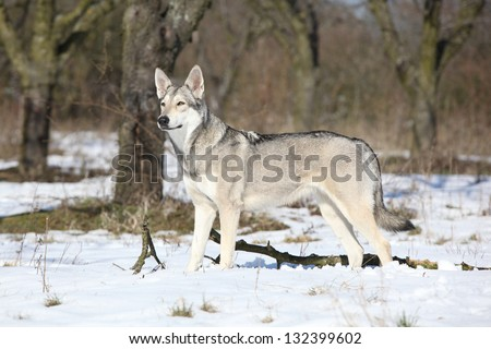 Saarloos wolfhound puppy for sale