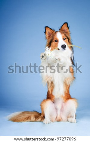 Sable and white border collie portrait in studio, trick with flower - stock photo