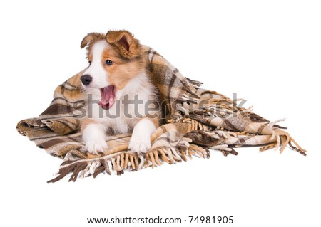 Sable color border collie puppy and plaid isolated on white - stock photo