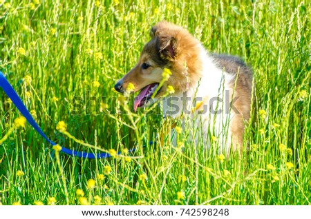Sable rough collie dog puppy tall stock photo royalty free sable rough collie dog puppy in the tall grass with yellow flowers mightylinksfo