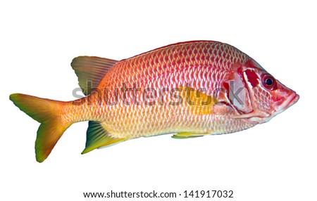 Sabre squirrelfish (Sargocentron spiniferum) isolated on white background. - stock photo