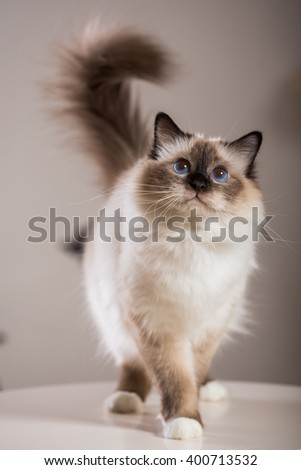 Sacred Birman Cat, birma - stock photo