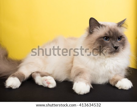 Sacred Birman Cat black and yellow background - stock photo