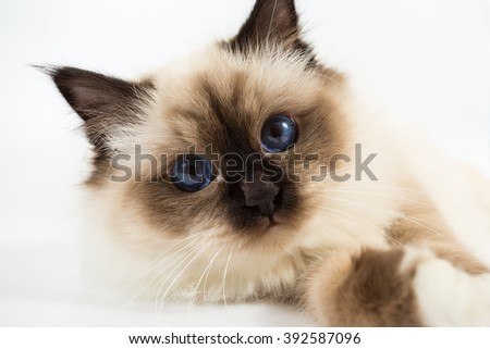 Sacred Birman Cat white background isolated