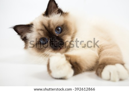 Sacred Birman Cat white background plays - stock photo