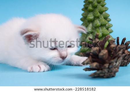 Sacred cat,kittens, tibetan monks, blue background, blue eyes, isolated - stock photo