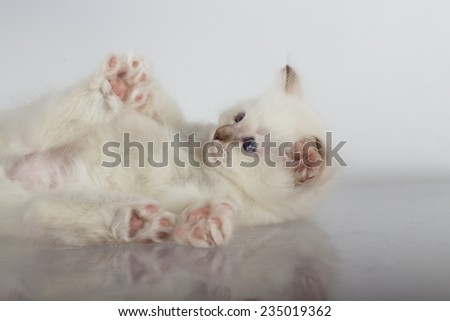 Sacred cat, kittens, tibetan monks, white background, blue eyes, isolated