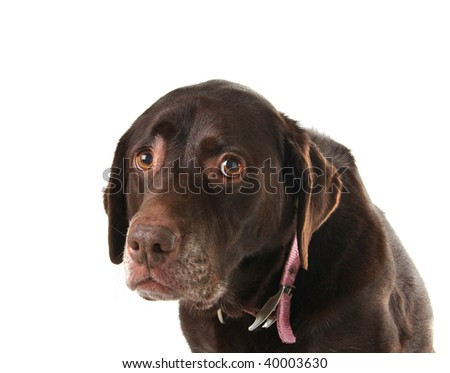 Sad and lonely looking old labrador retriever.