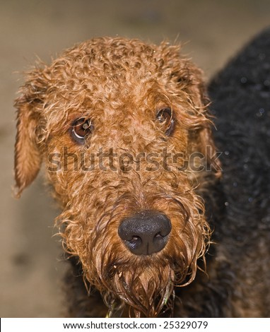 Sad and wet airedale terrier dog - stock photo