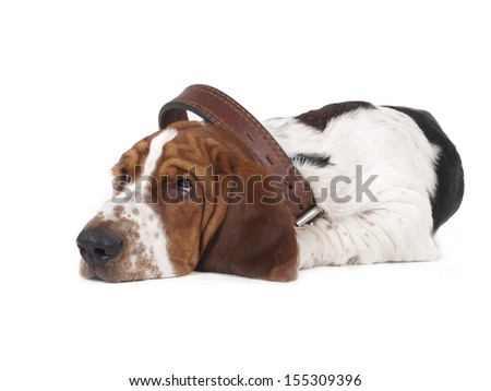 sad basset lies in the large collar on a white background - stock photo