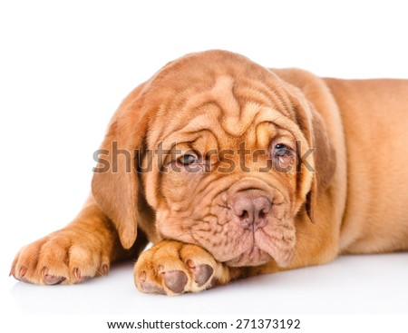 Sad Bordeaux puppy dog. isolated on white background - stock photo