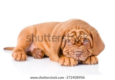 Sad Bordeaux puppy dog. isolated on white background - stock photo